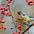 World Wildlife Photography - Cedar Waxwing Pictures 50