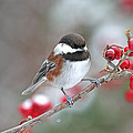 Peggy Collins - Chickadee with Red...