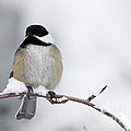 Reflective Moments  Photography and Digital Art Images - Chim Chim Chickadee
