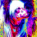 Chinese Crested Dog 20130125v1 by Wingsdomain Art and Photography