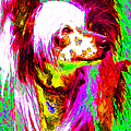 Chinese Crested Dog 20130125v2 by Wingsdomain Art and Photography