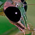 Leslie Crotty - Chinese Mantis Macro...