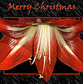 Carolyn Marshall - Christmas Amaryllis