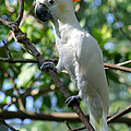 Gary Gingrich Galleries - Cockatoo-7