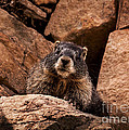 Janice Rae Pariza - Colorado Rock Marmot
