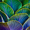Christi Kraft - Colors of the Cabbage...