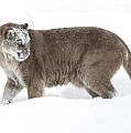 Inspired Nature Photography By Shelley Myke - Cougar on a Winter Prowl