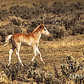 Jerry Cowart - Cute Colt Wild Horse On...