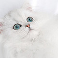 David and Carol Kelly - Cute White Persian Kitten