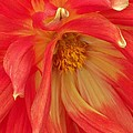 Hominy Valley Photography - Dahlia