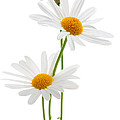 Elena Elisseeva - Daisies on white...