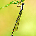 Christina Rollo - Damselfly