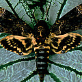 Leslie Crotty - Death Head Moth ...