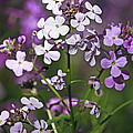 Inspired Nature Photography By Shelley Myke - Delightful Summer Phlox...