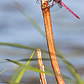Bryan Keil - Dragonfly on reed
