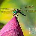 Inge Johnsson - Dragonfly on Waterlily