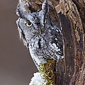 Inspired Nature Photography By Shelley Myke - Eastern Screech Owl...