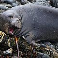 Priscilla Burgers - Elephant Seal of Ano...