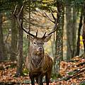 World Wildlife Photography - Elk Pictures 122