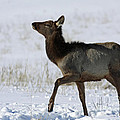 Inspired Nature Photography By Shelley Myke - Elk Prancing in the Snow