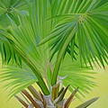 Kimberly Khan - Fan Palm
