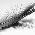 Zoe Ferrie - Feather and reflection...