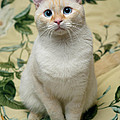 Flame Point Siamese Cat by Amy Cicconi