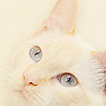 Pam  Holdsworth - Flame Point Siamese