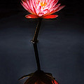 Mike Savad - Flower - Water Lily -...