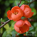 John Tidball  - Flowering Quince