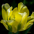 Julie Palencia - Flowing Yellow Tulip...