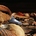 Karol  Livote - Fulvous Whistling Duck