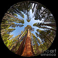 Jane Rix - Giant Sequoia Fisheye