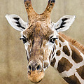 Linsey Williams - Giraffe
