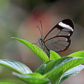 Juergen Roth - Glasswing Butterfly