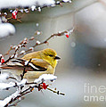 Debbie Portwood - Gold Finch on Snowberry...