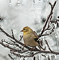 Lara Ellis - Gold Finch with Icicles