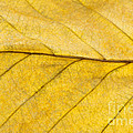 Anne Gilbert - Golden Beech Leaf