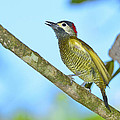 Tony Beck - Golden Olive Woodpecker