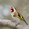Chris Smith - Goldfinch