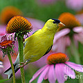 Rodney Campbell - Goldfinch on a Coneflower