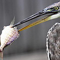 Travis Truelove - Great Blue Heron - Just...
