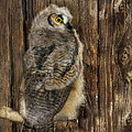 Lori Deiter - Great Horned Owl 1