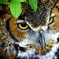 Judy Wanamaker - Great Horned Owl Closeup