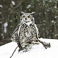 Inspired Nature Photography By Shelley Myke - Great Horned Owl in a...