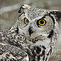Inspired Nature Photography By Shelley Myke - Great Horned Owl on the...