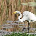 Sabrina L Ryan - Great White Egret by the...