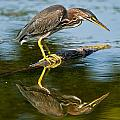 Heron  Images - Green Heron Pictures  28