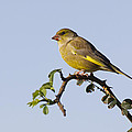 Chris Smith - Greenfinch