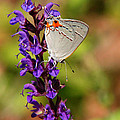 Christina Rollo - Hairstreak Butterfly